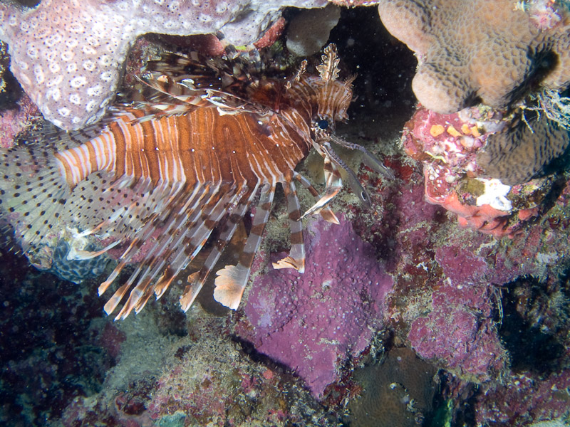 Photo at Challenger Bay:  Devil firefish