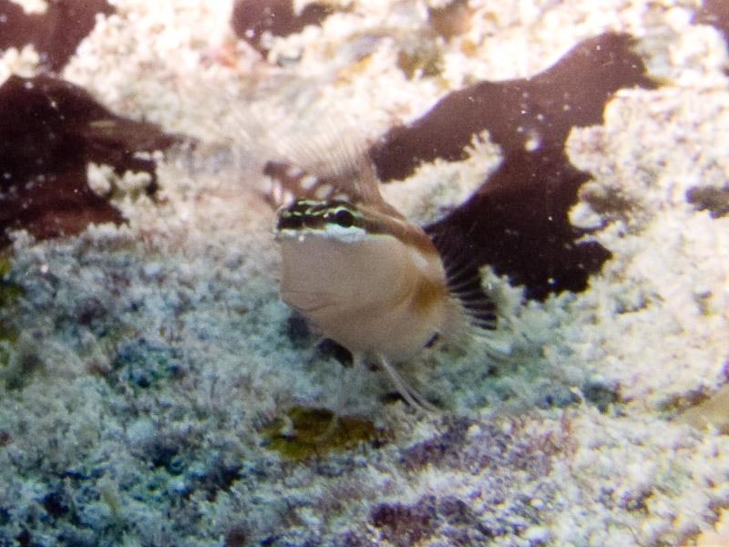 Photo at Challenger Bay:  Australian blenny