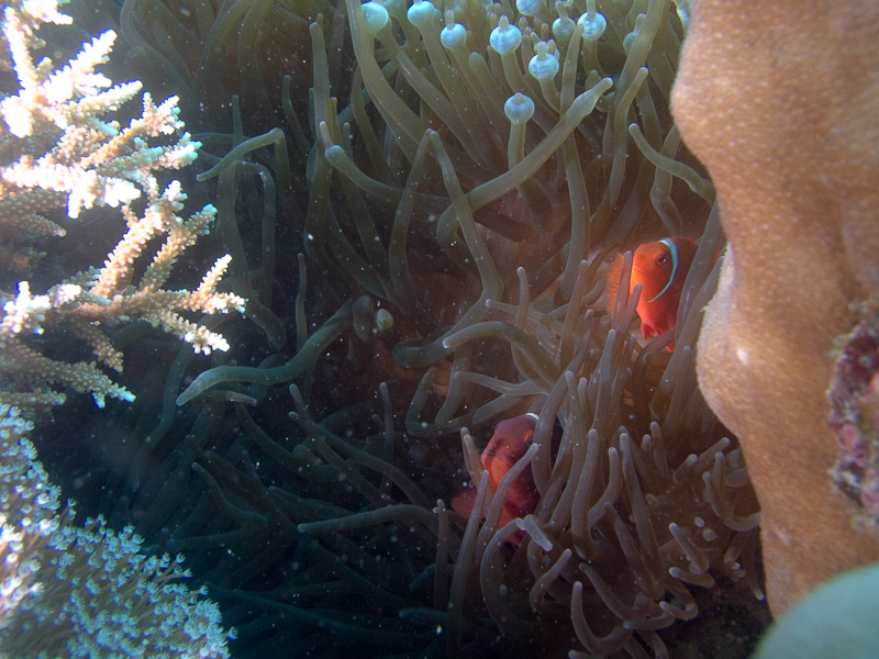 Photo at Challenger Bay:  Spinecheek anemonefish