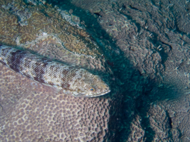 Photo at Challenger Bay:  Variegated lizardfish