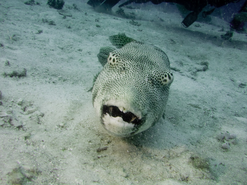 Photo at Challenger Bay:  Starry toadfish