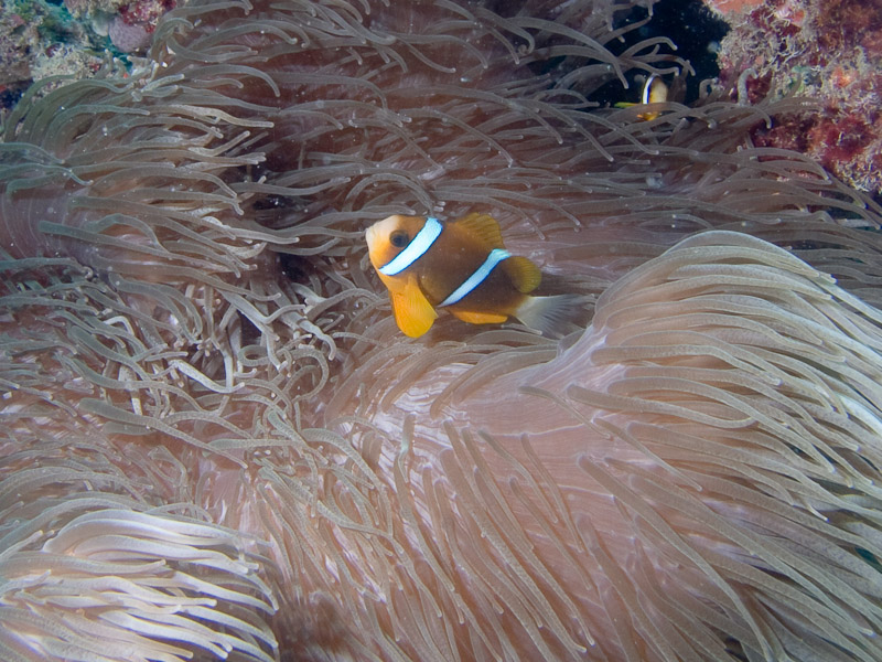 Photo at Challenger Bay:  Barrier reef anemonefish