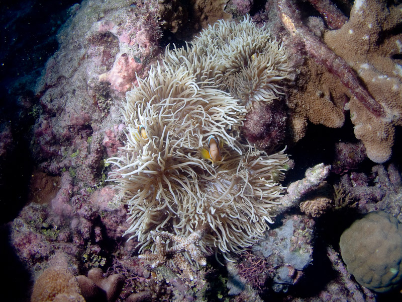 Photo at Cod Hole:  Anemonefish