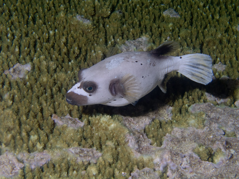 Photo at Cod Hole:  Blackspotted puffer