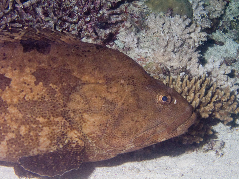 Photo at Cod Hole:  Brown-marbled grouper