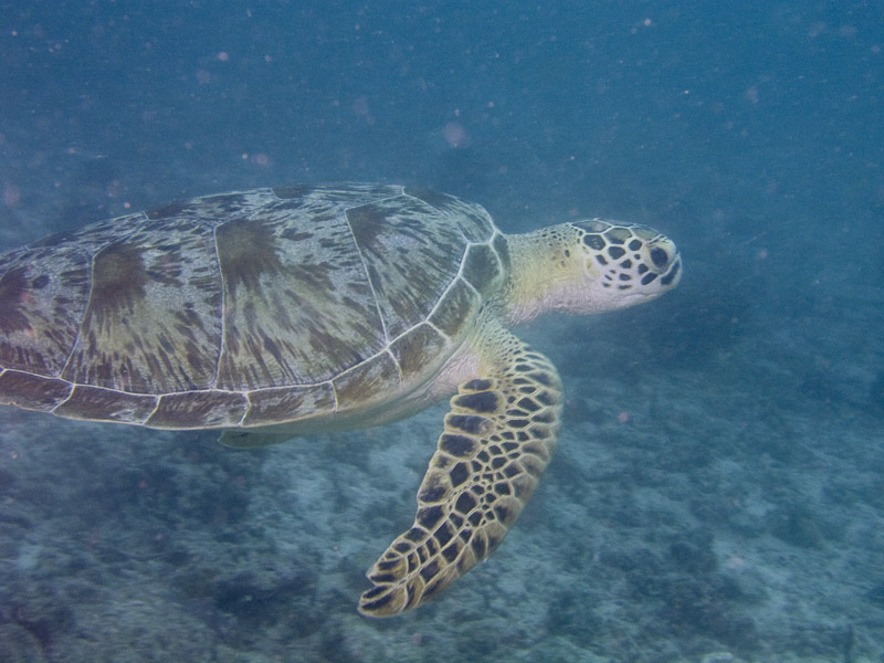 Photo at Paddy's Market:  Green Turtle