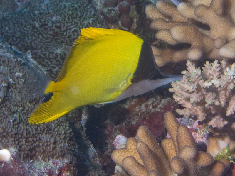 Photo at North Horn:  Longnose butterflyfish