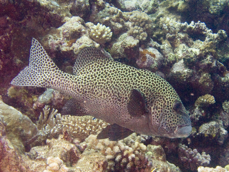 Photo at North Horn:  Harlequin sweetlips