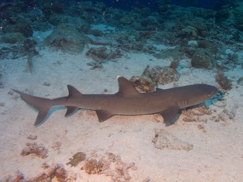 Photo at The Entrance:  Whitetip reef shark