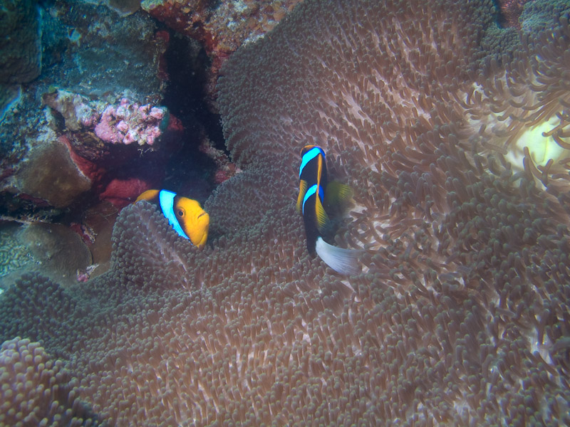 Photo at The Entrance:  Barrier reef anemonefish