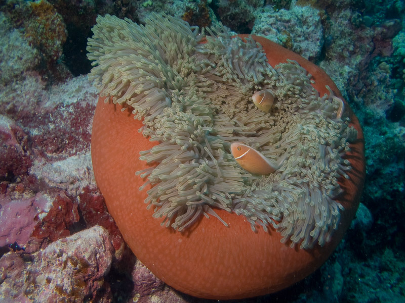 Photo at Halfway Wall:  Pink anemonefish