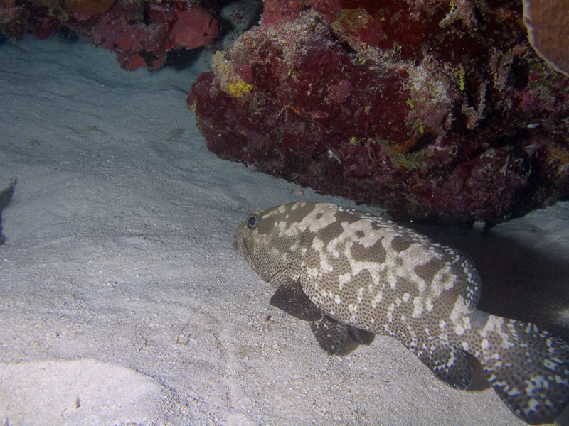 Photo at Halfway Wall:  Potato grouper