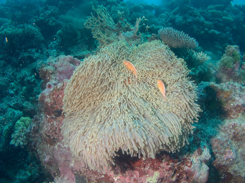 Photo at Halfway Wall:  Pink anemonefish