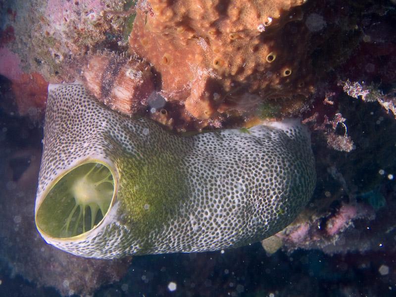 Photo at The Corner:  Didemnidae