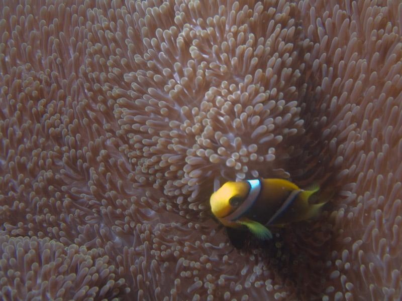 Photo at The Corner:  Orangefin anemonefish