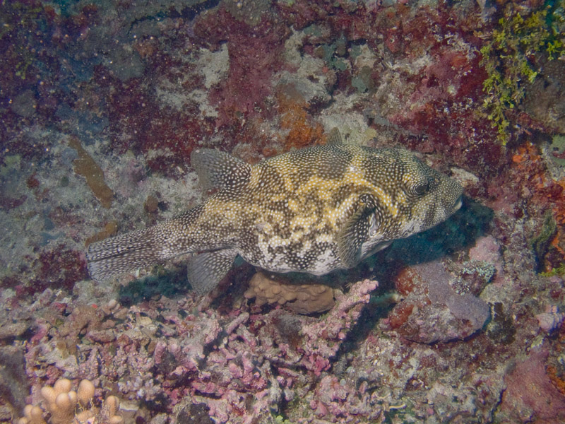 Photo at Unnamed site:  Blue-spotted puffer
