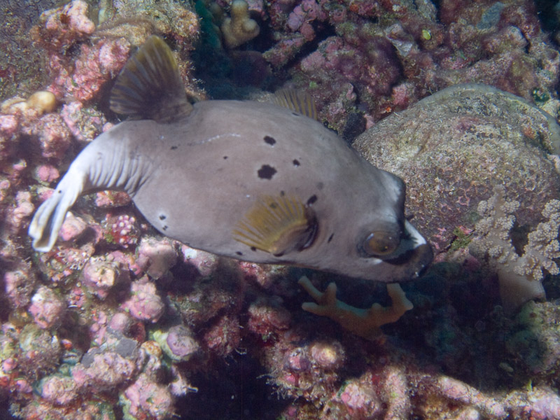 Photo at Unnamed site:  Blackspotted puffer
