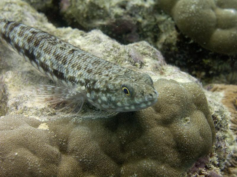 Photo at Apostles:  Two-spot lizard fish