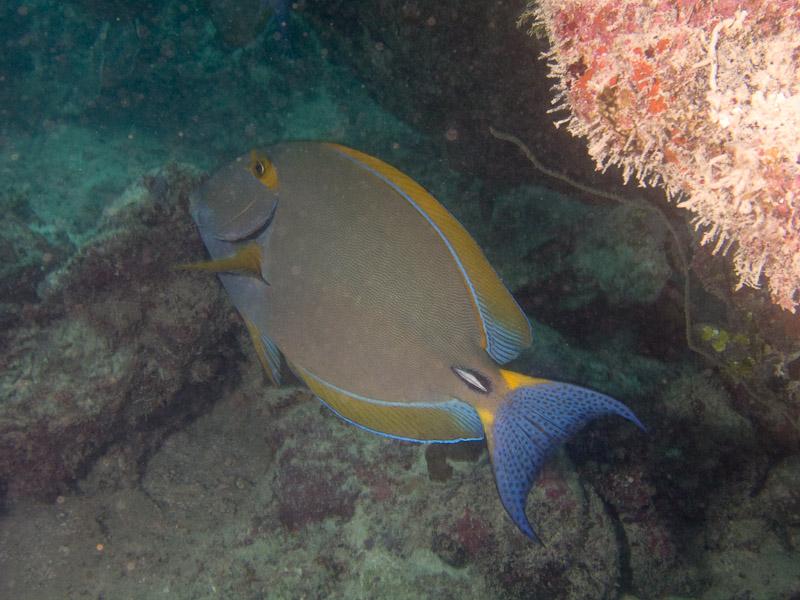 Photo at Apostles:  Eyestripe surgeonfish