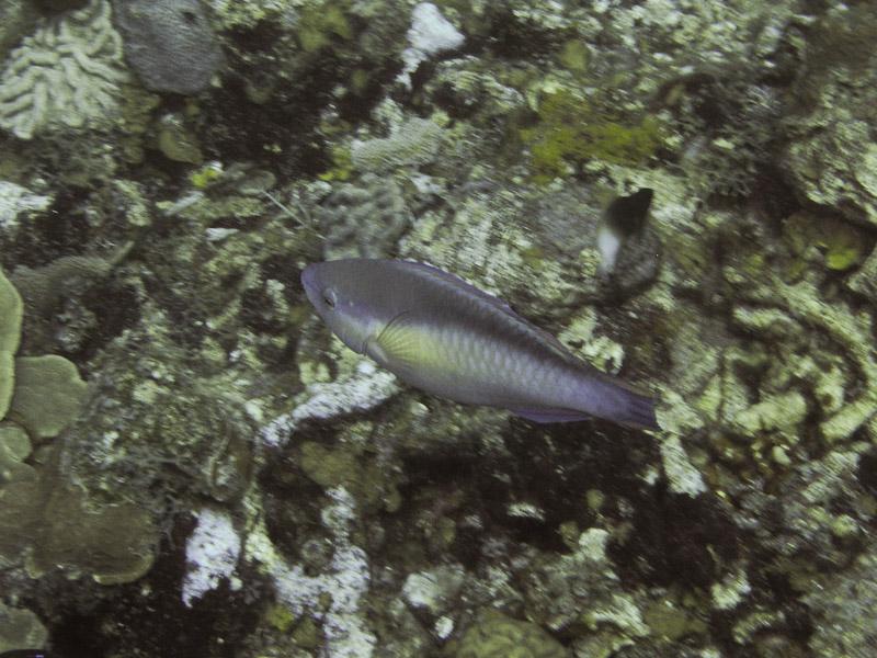 Photo at Camaronero II:  Princess parrotfish