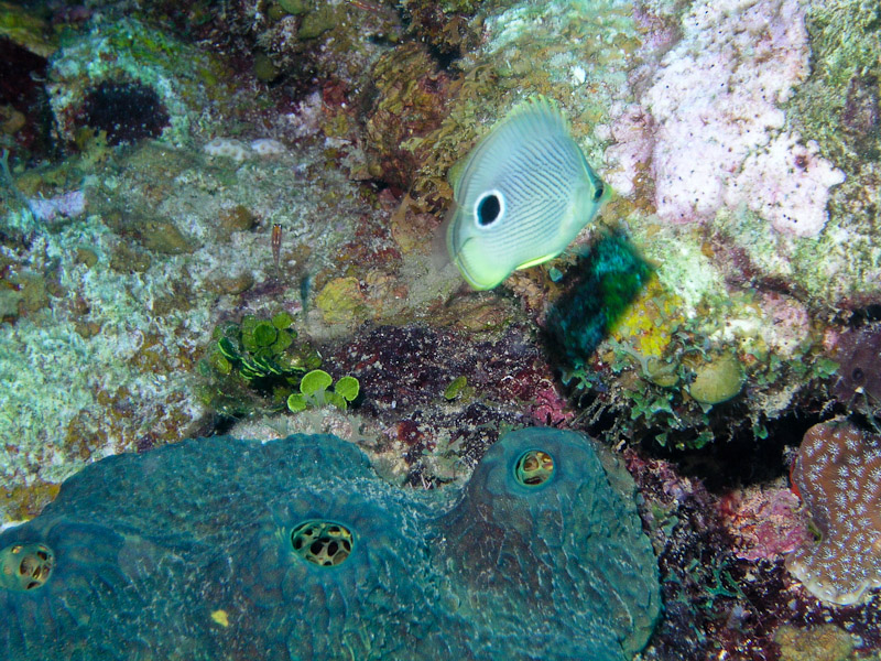 Photo at Camaronero II:  Foureye butterflyfish