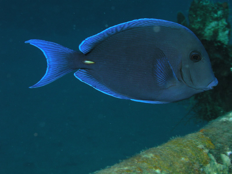 Photo at Camaronero II:  Blue tang surgeonfish