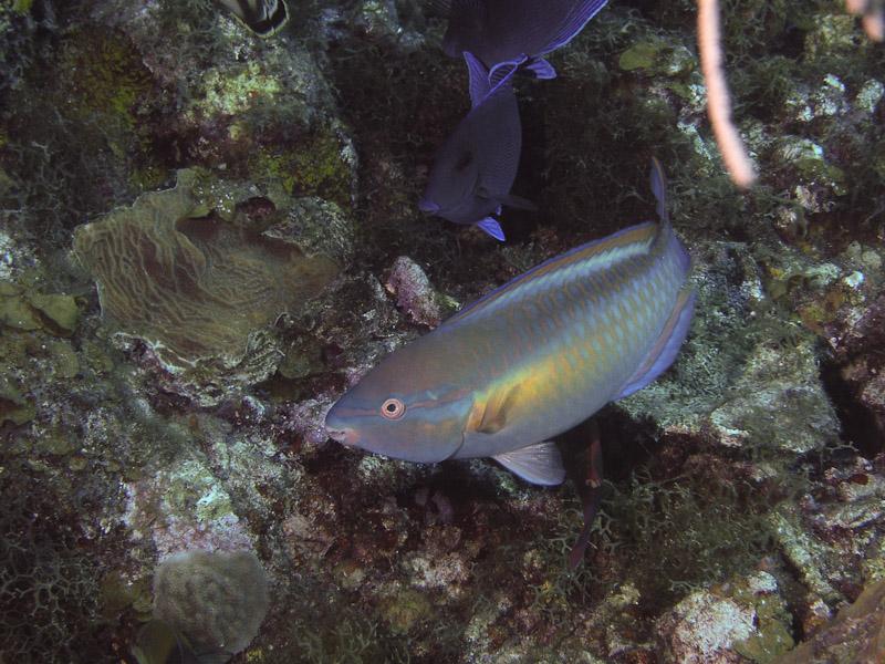 Photo at La Guasa:  Princess parrotfish