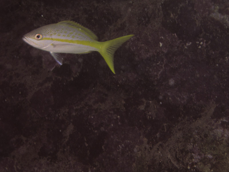 Photo at La Patanita:  Yellowtail snapper