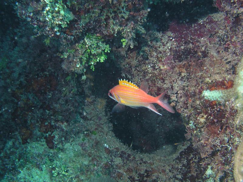 Photo at La Patanita:  Longjaw squirrelfish