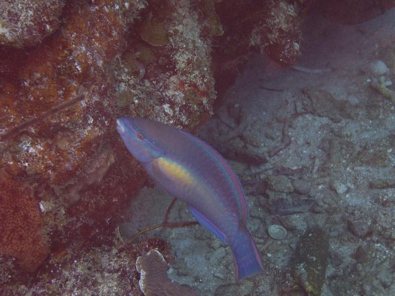 Photo at Coronita:  Princess parrotfish