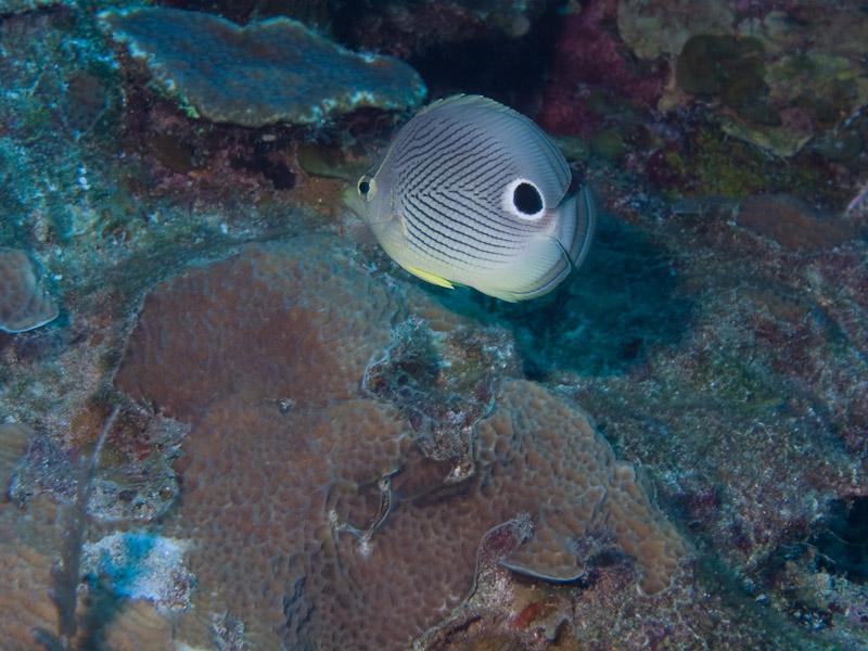 Photo at Coronita:  Foureye butterflyfish