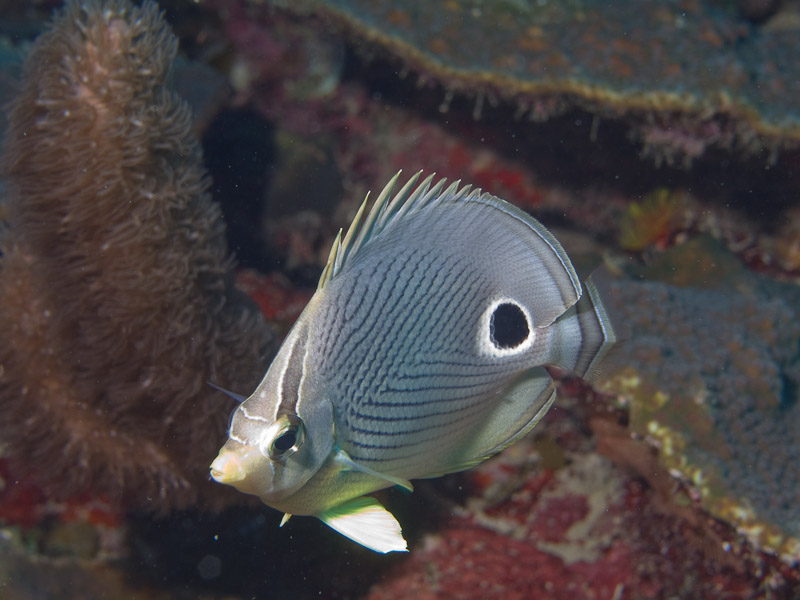 Photo at Coronita:  Foureye butterflyfish