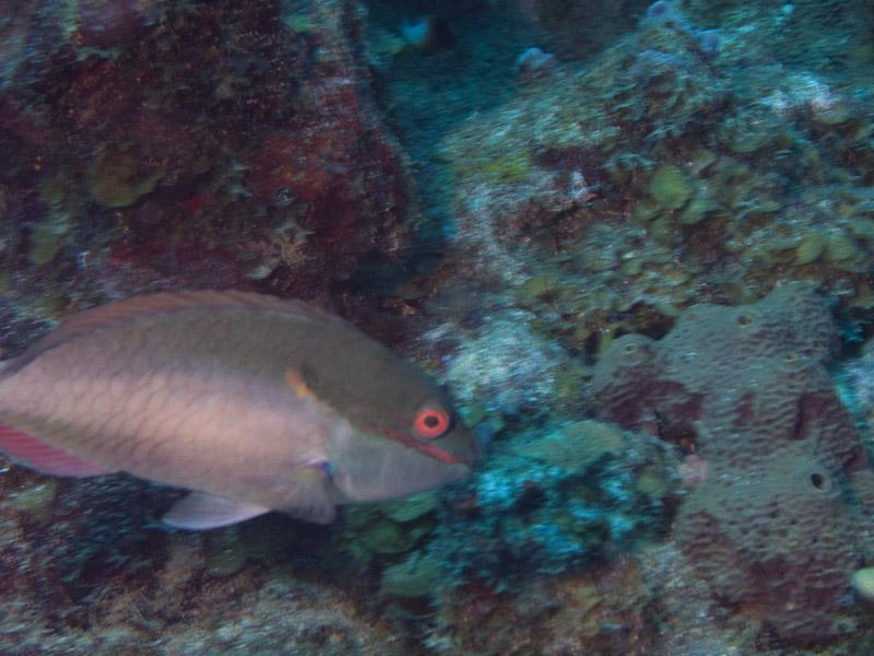 Photo at Coronita:  Redband parrotfish