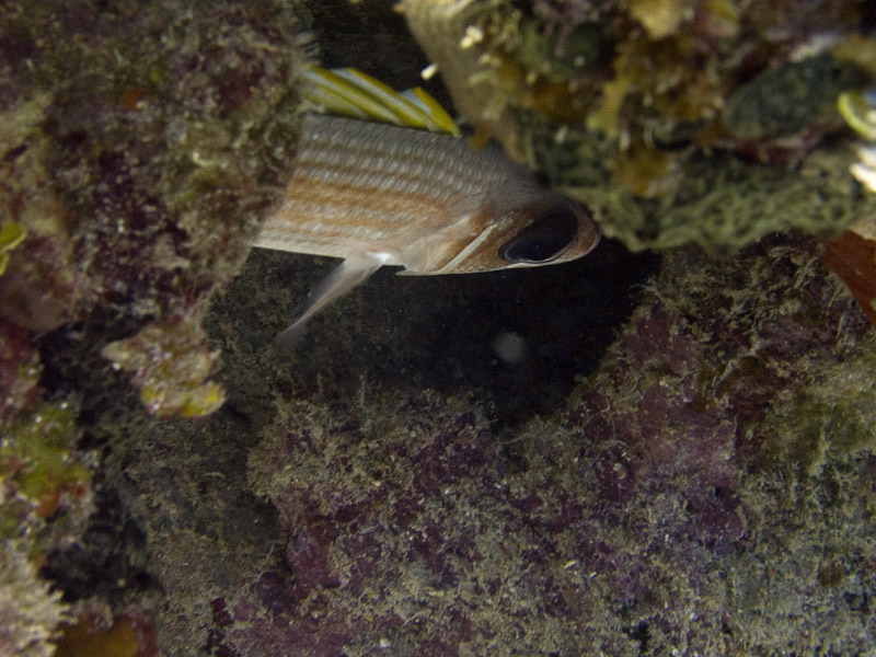 Photo at Faro de Luna:  Longjaw squirrelfish