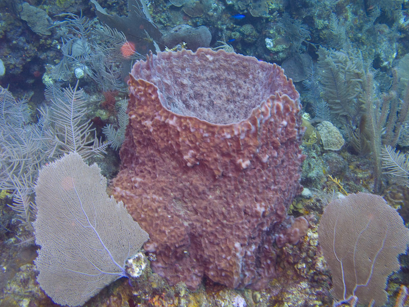 Photo at Punta Gavilanes:  Barrel Sponge