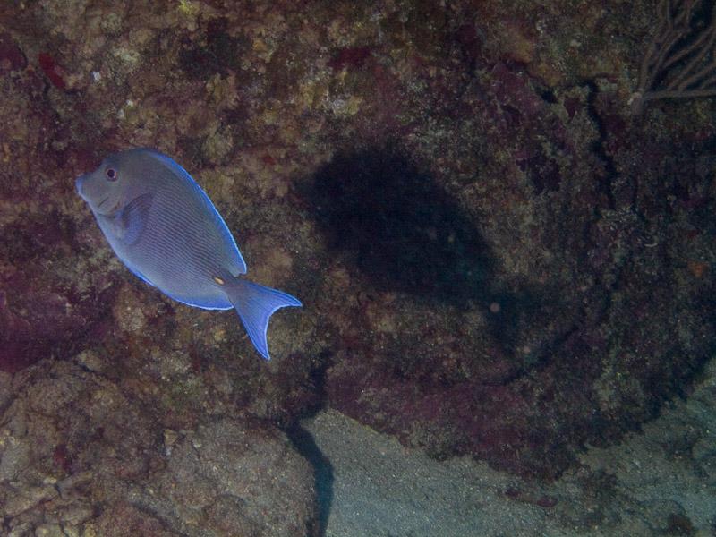 Photo at Punta Gavilanes:  Blue tang surgeonfish