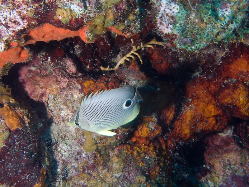 Photo at Punta Gavilanes:  Foureye butterflyfish
