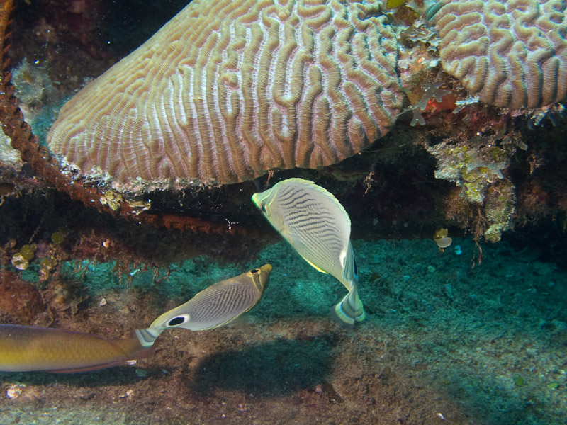 Photo at La Patana:  Foureye butterflyfish
