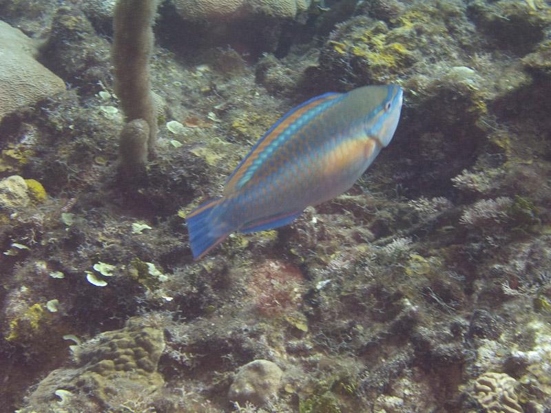 Photo at La Patana:  Princess parrotfish