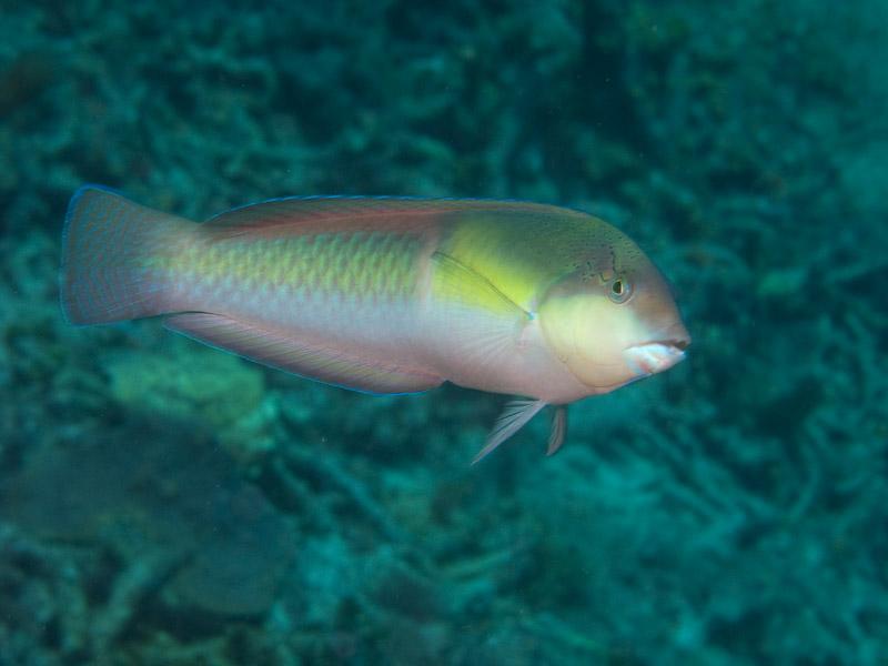 Photo at La Patana:  Parrotfish