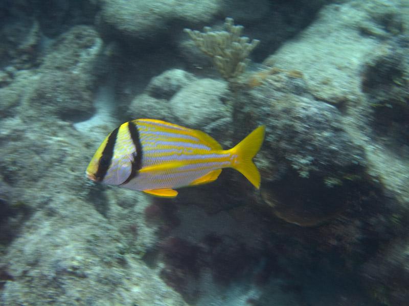 Photo at La Patana:  Porkfish