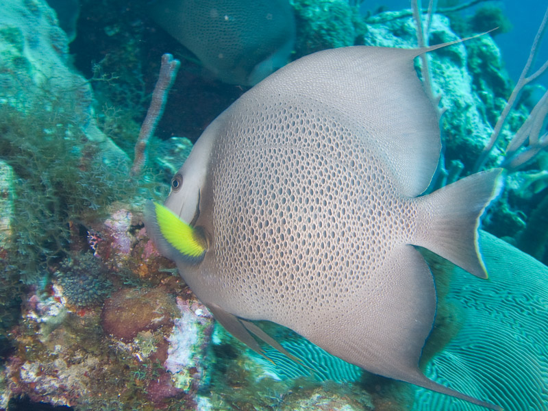 Photo at Off-Limits:  Gray angelfish
