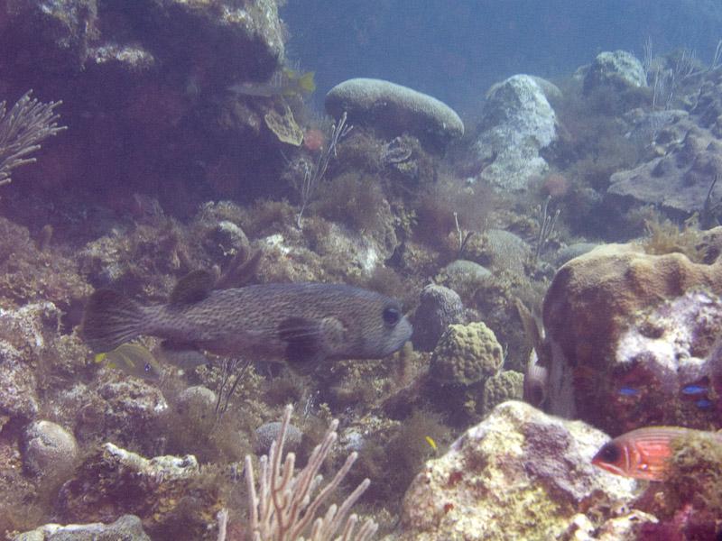 Photo at Off-Limits:  Spot-fin porcupinefish ('Balloonfish')