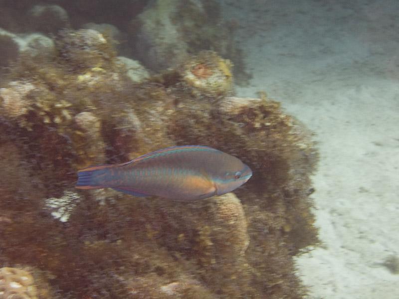 Photo at Off-Limits:  Princess parrotfish