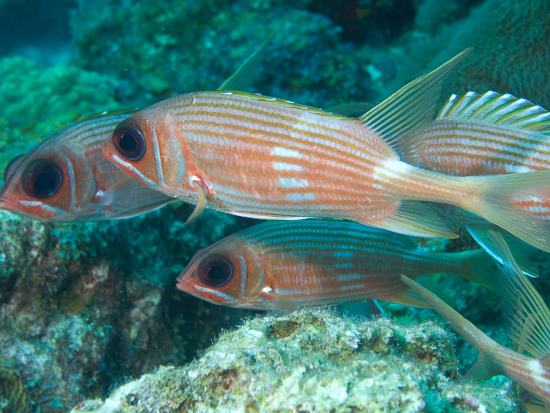 Photo at Off-Limits:  Longspine squirrelfish