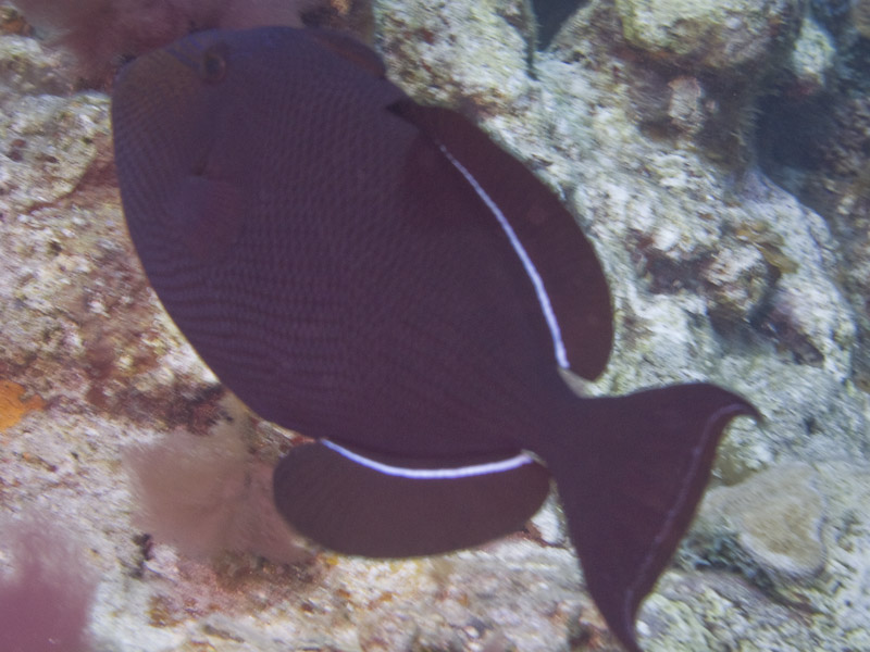 Photo at Off-Limits:  Black triggerfish