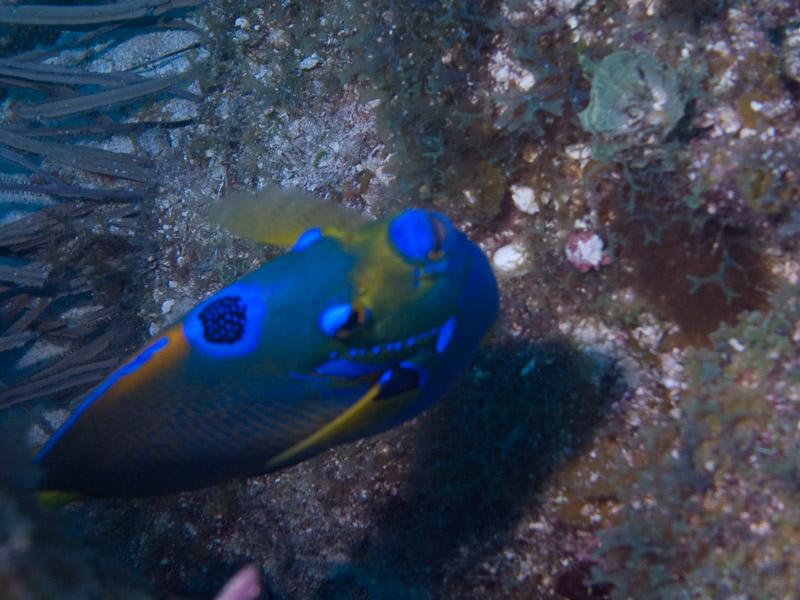 Photo at Golden Valley (55):  Queen Angelfish