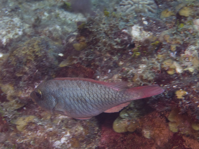 Photo at Hidden Passage (14):  Redtail parrotfish