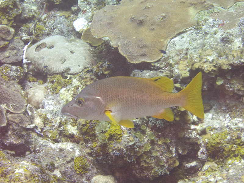 Photo at Hidden Passage (14):  Schoolmaster snapper