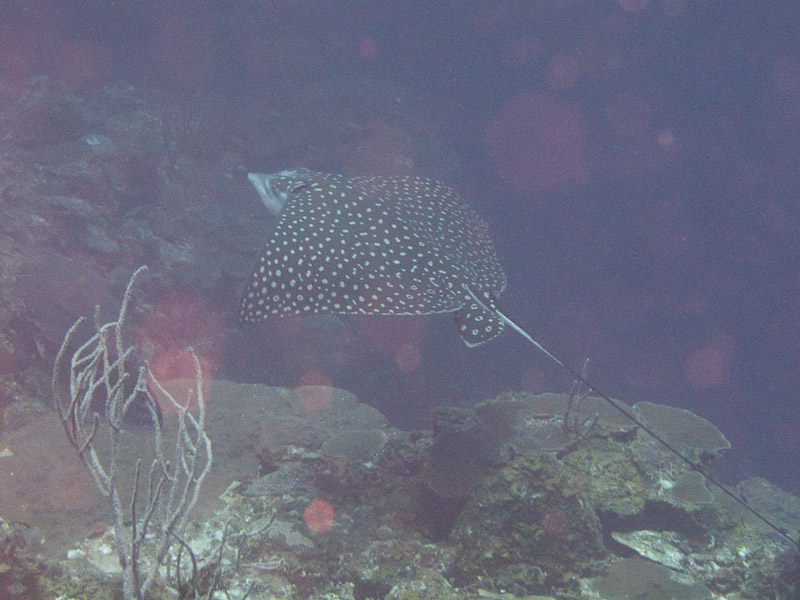 Photo at Hidden Passage (14):  Spotted Eagle Ray